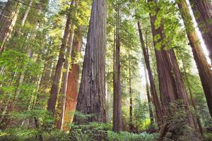 Coastal Redwood Forest by Frank Krahmer