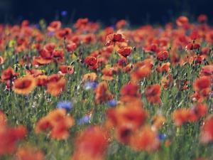 Common poppies and cornflowers by Frank Krahmer