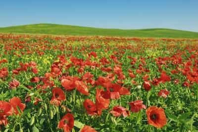 Corn Poppy Field (Papaver Rhoeas) on Resting Field