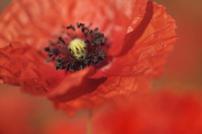 Corn Poppy (Papaver Rhoeas) by Frank Krahmer
