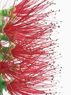 Crimson bottlebrush (callistemon citrinus) by Frank Krahmer