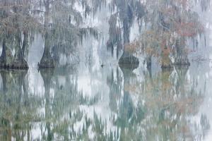 Cypress Trees in Fog, Bayou, New Orleans, Louisiana, USA by Frank Krahmer