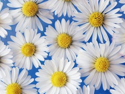 Daisy Blossoms by Frank Krahmer
