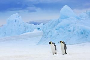 Emperor Penguins (Aptenodytes Forsteri) by Frank Krahmer