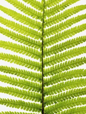 Fern Leaf