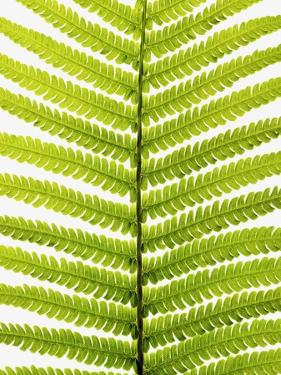 Fern Leaf by Frank Krahmer