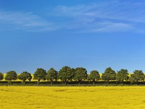 Horsechestnut trees in a row at edge of field by Frank Krahmer
