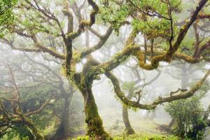 Laurel Forest Laurisilva in Fog by Frank Krahmer