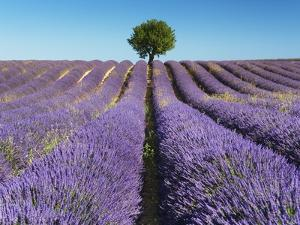 Lavender Field and Almond Tree in Provence by Frank Krahmer