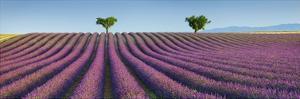 Lavender field, Provence, France by Frank Krahmer