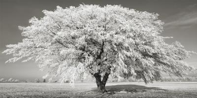 Lime tree with frost, Bavaria, Germany