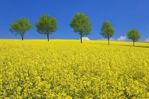 Line of Trees amidst Canola Fields by Frank Krahmer