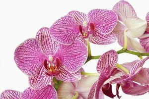 Moth Orchid by Frank Krahmer