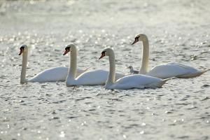 Mute Swans by Frank Krahmer