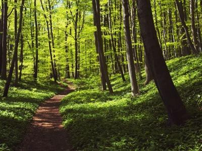 Path in beech forest by Frank Krahmer
