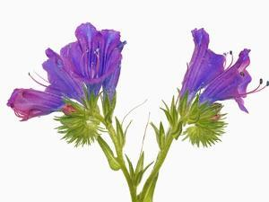 Purple vipers bugloss (echium plantagineum) by Frank Krahmer