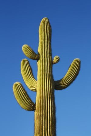 Saguaro by Frank Krahmer