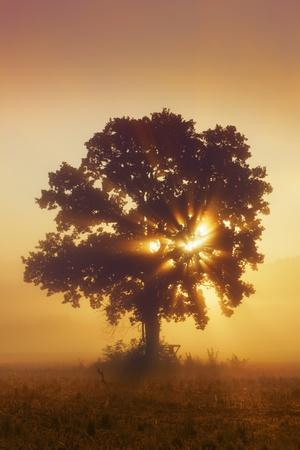 Silhouette of Oak Tree (Quercus) in Mist at Sunrise