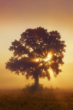 Silhouette of Oak Tree (Quercus) in Mist at Sunrise by Frank Krahmer