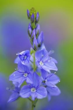 Speedwell (Veronica Sp.) Flower Close-Up, Bavaria, Germany by Frank Krahmer