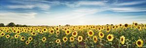 Sunflower field, Plateau Valensole, Provence, France by Frank Krahmer