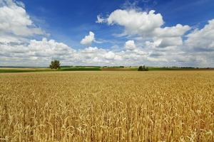 Wheat Field and Cumulonimbus Clouds by Frank Krahmer
