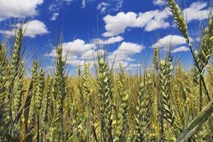 Wheat Field by Frank Krahmer