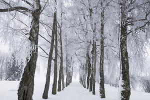 Winter Landscape with Snow Covered Birch Alley by Frank Krahmer