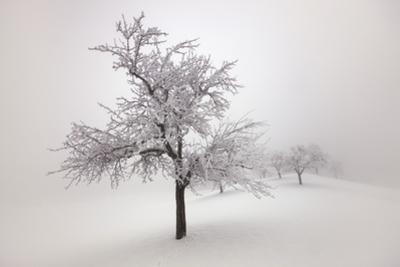 Winter Landscape with Snow Covered Fruit Tree by Frank Krahmer