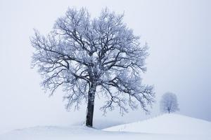 Winter Landscape with Snow Covered Oak and Lime Tree by Frank Krahmer