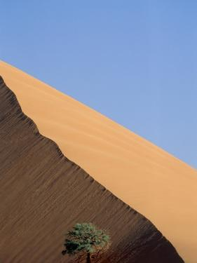 Acacia at the hillside of a dune in Namib Naukluft Park by Frank Lukasseck