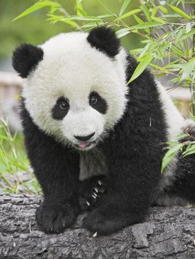 Baby Giant Panda by Frank Lukasseck