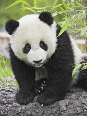 Baby Giant Panda by Frank Lukasseck