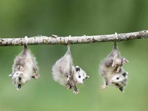 Baby Opossum Hanging from Branch by Frank Lukasseck