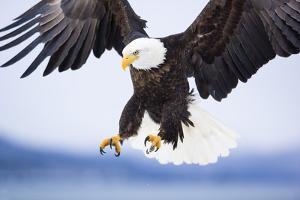 Bald Eagle Landing by Frank Lukasseck