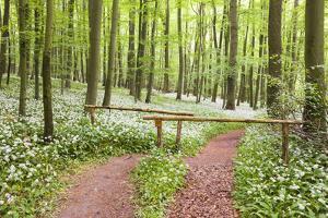 Beech Forest, Forest Path, Forest Floor, Wild Garlic, Allium Ursinum by Frank Lukasseck