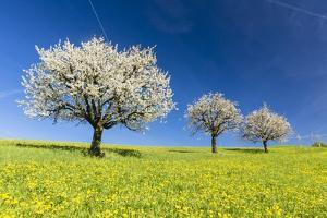 Blooming Cherry Trees on a Meadow by Frank Lukasseck
