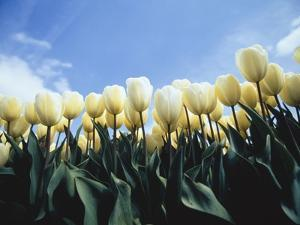 Blooming yellow tulips by Frank Lukasseck