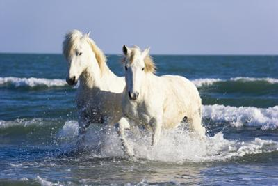 Camargue Horses in Surf
