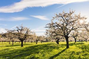 Cherry Orchard in Bloom by Frank Lukasseck
