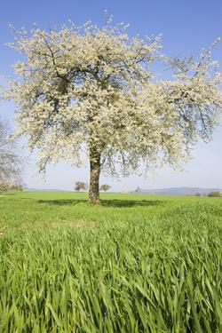 Cherry Tree in Bloom by Frank Lukasseck