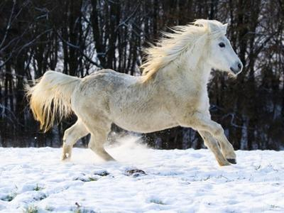 Elderly Welsh-Arab pony running on snow covered meadow