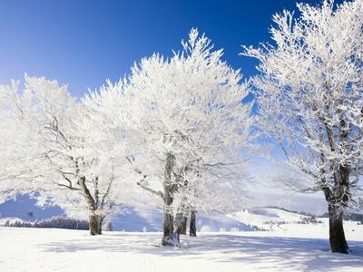 Frost-covered beech trees in Black Forest