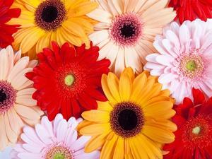Gerbera daisies by Frank Lukasseck