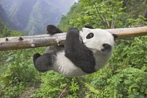 Giant Panda Cub Hanging from Tree Trunk by Frank Lukasseck
