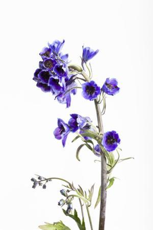 Larkspur, Consolida Regalis, Detail, Blossoms by Frank Lukasseck