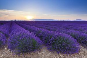 Lavender Field in Bloom at Sunrise by Frank Lukasseck