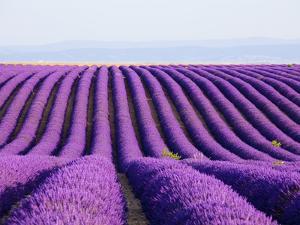 Lavender field in bloom by Frank Lukasseck