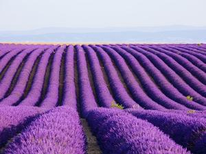 Lavender field in bloom by Frank Lukasseck