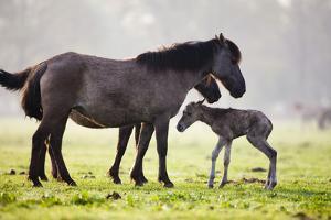 Of DŸlmener Wild Horses, Foals, Pasture, Morning by Frank Lukasseck